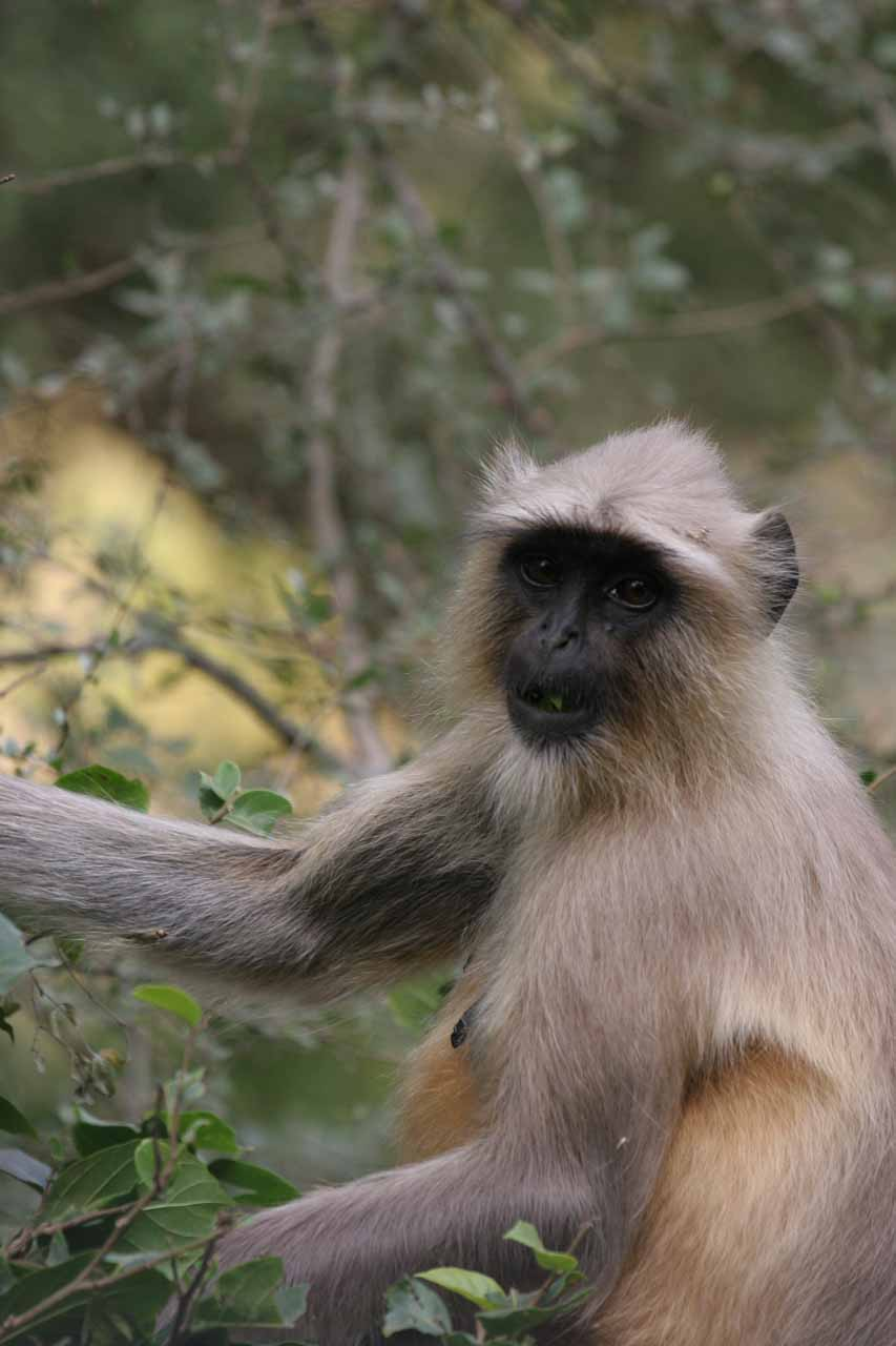 Closeup of a monkey we spotted in Ranthambore