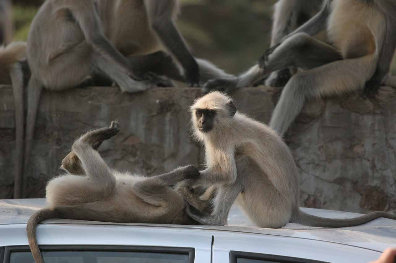Monkeys messing around and dented the car