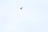 Reynisfjara_telephoto_063_08072021 - Capturing a puffin in mid-flight above Reynisfjara