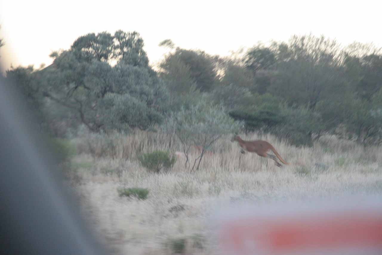 A kangaroo hopping away - the very thing we feared as we were driving out into nothingness