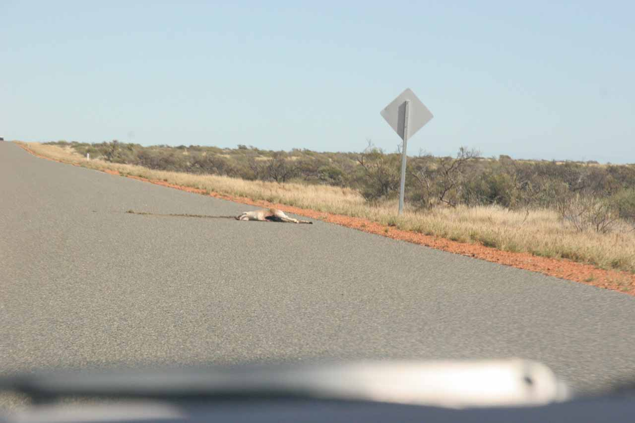 Yet another kangaroo roadkill by Road 136 that we had to dodge