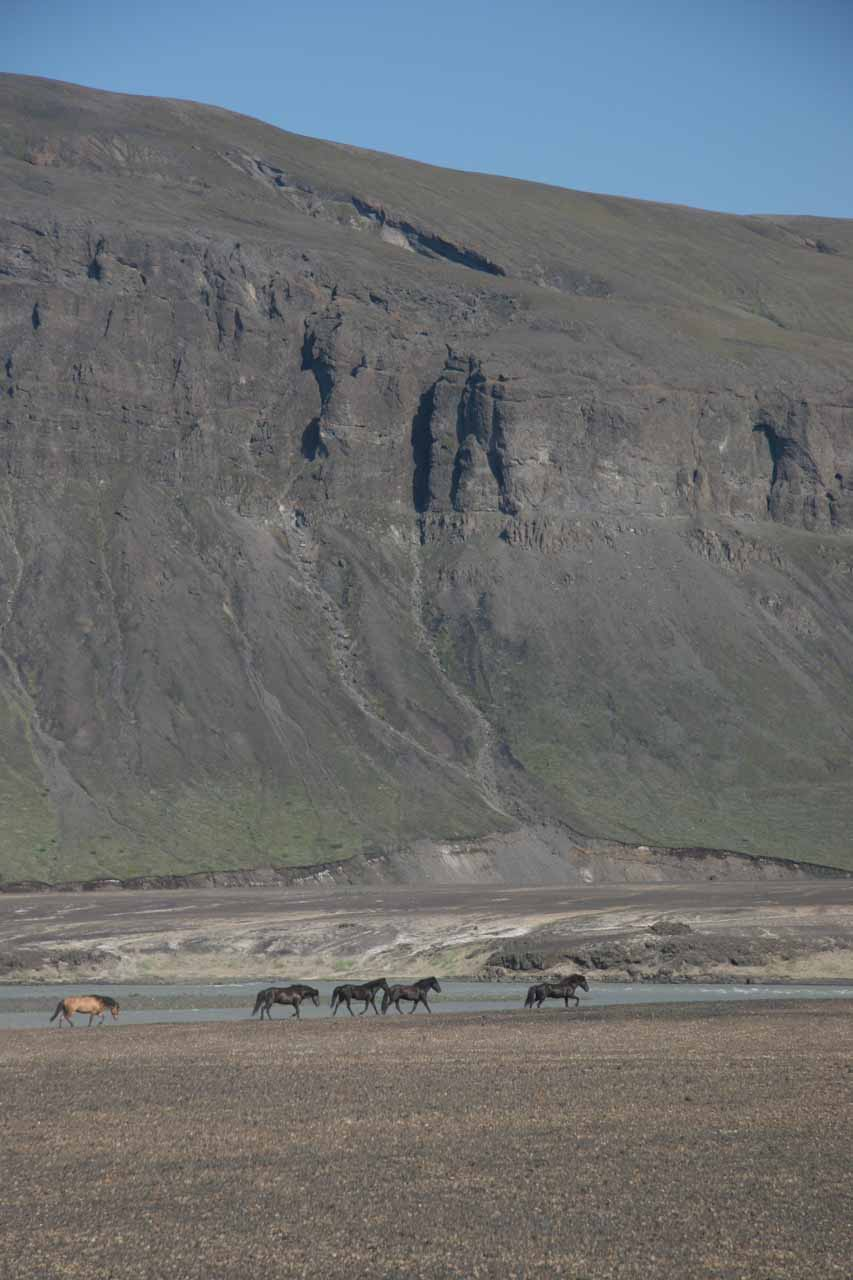 While driving through Thjorsadalur (prior to visiting Hjalparfoss), we saw this herd of Icelandic horses running along the Thjorsa River