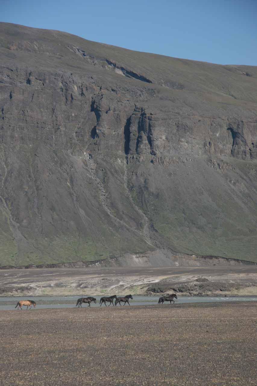 While driving through Thjorsadalur (prior to visiting Hjalparfoss), we saw this herd of Icelandic horses running along the Thjorsa River