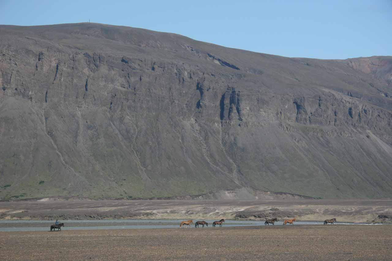 More lines of Icelandic horses with a rancher in the back of the line