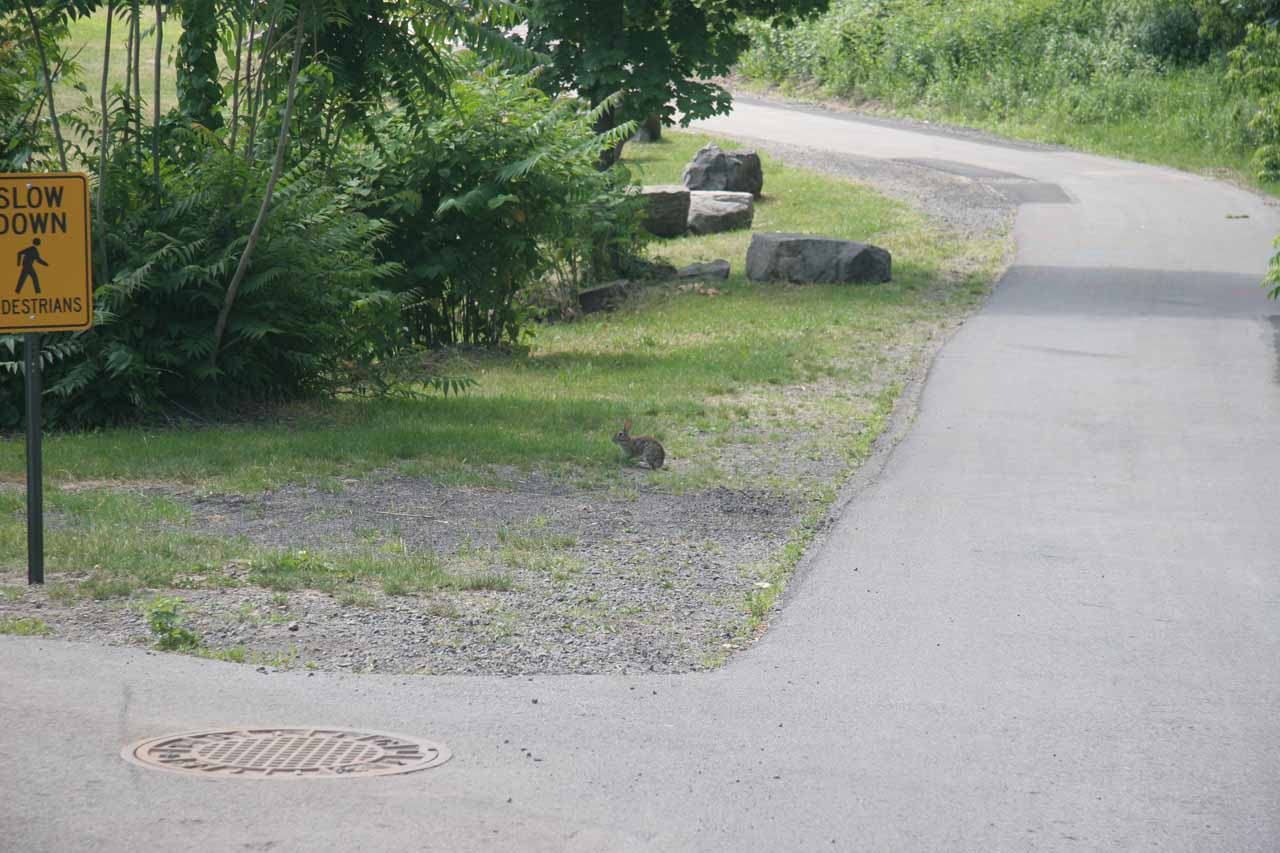 A little rabbit along the paved walking path