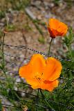 Rubio_Canyon_160_04142020 - Looking down at a couple of California poppies blooming nearby the Rubio Canyon Trailhead off Rubio Vista Drive
