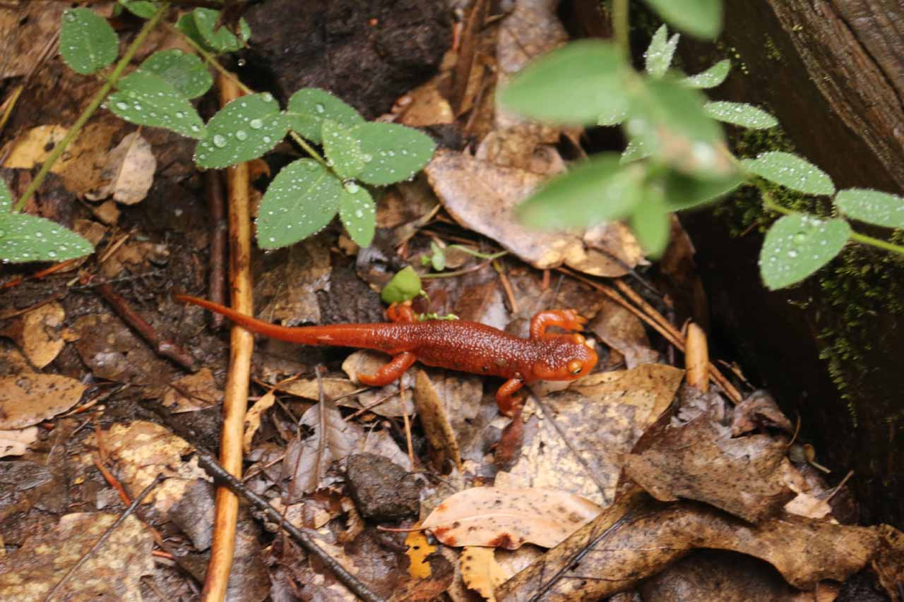 With all the water on this trail, Mom and I noticed a bunch of these red lizards (or salamanders?) slowly scrambling across the Independence Trail