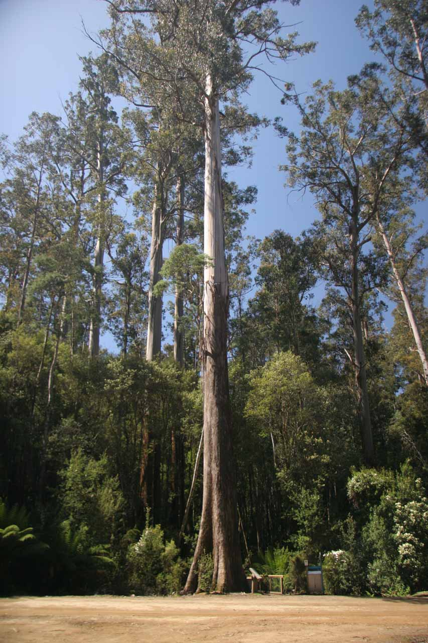 This was one of the impressively tall trees at the Tall Trees Walk Car Park, which was between Russell Falls and Lady Barron Falls