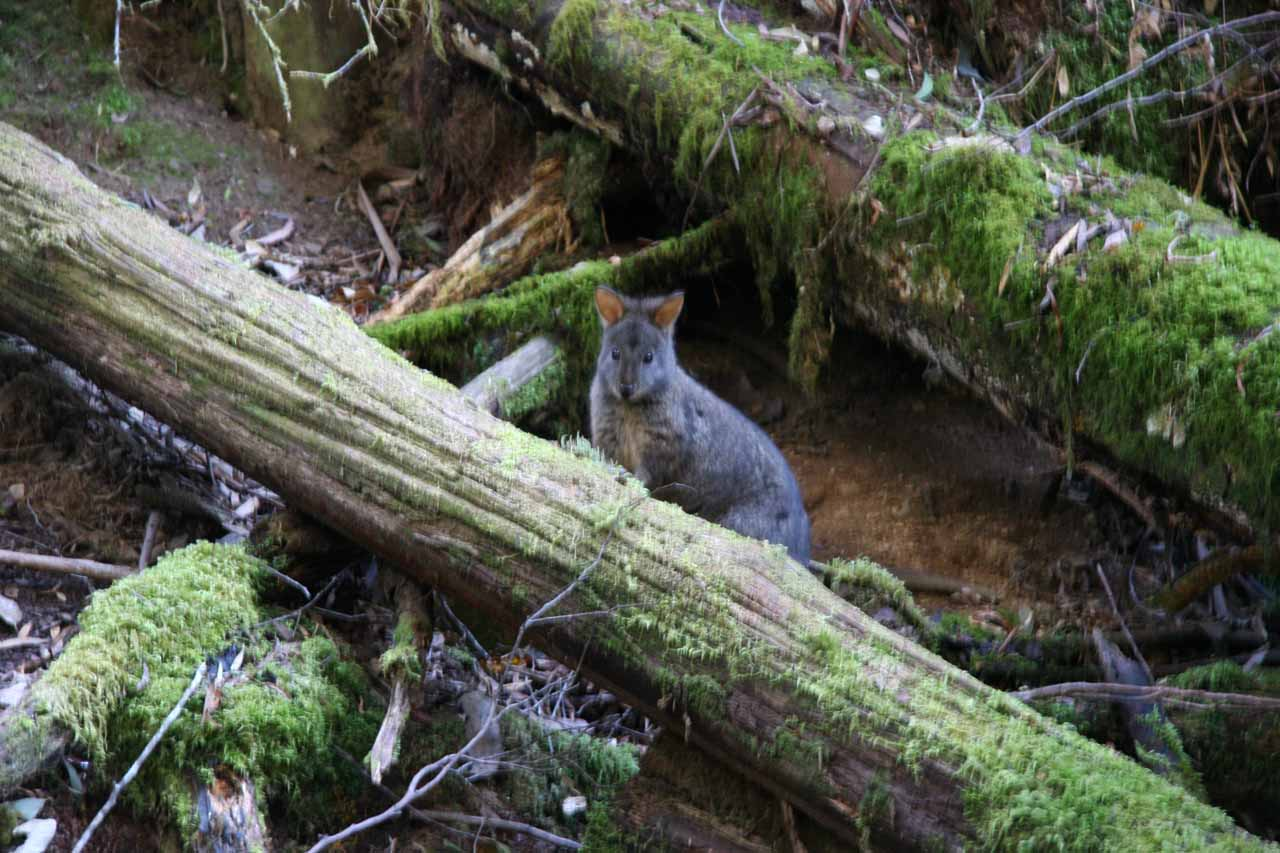 I wasn't sure if this furry little guy was a wallaby or the Tasmanian Pademelon