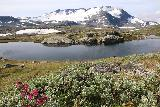 Rv55_183_07212019 - Some wildflowers fronting Prestesteinsvatnet with Fannarakbreen and Fannaraki in the background as seen along Sognefjellsvegen