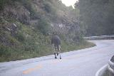 Rv64_Rv660_007_07162019 - A moose or elg on the Rv660 on the climb out of Eresfjord as I was headed back to Andalsnes