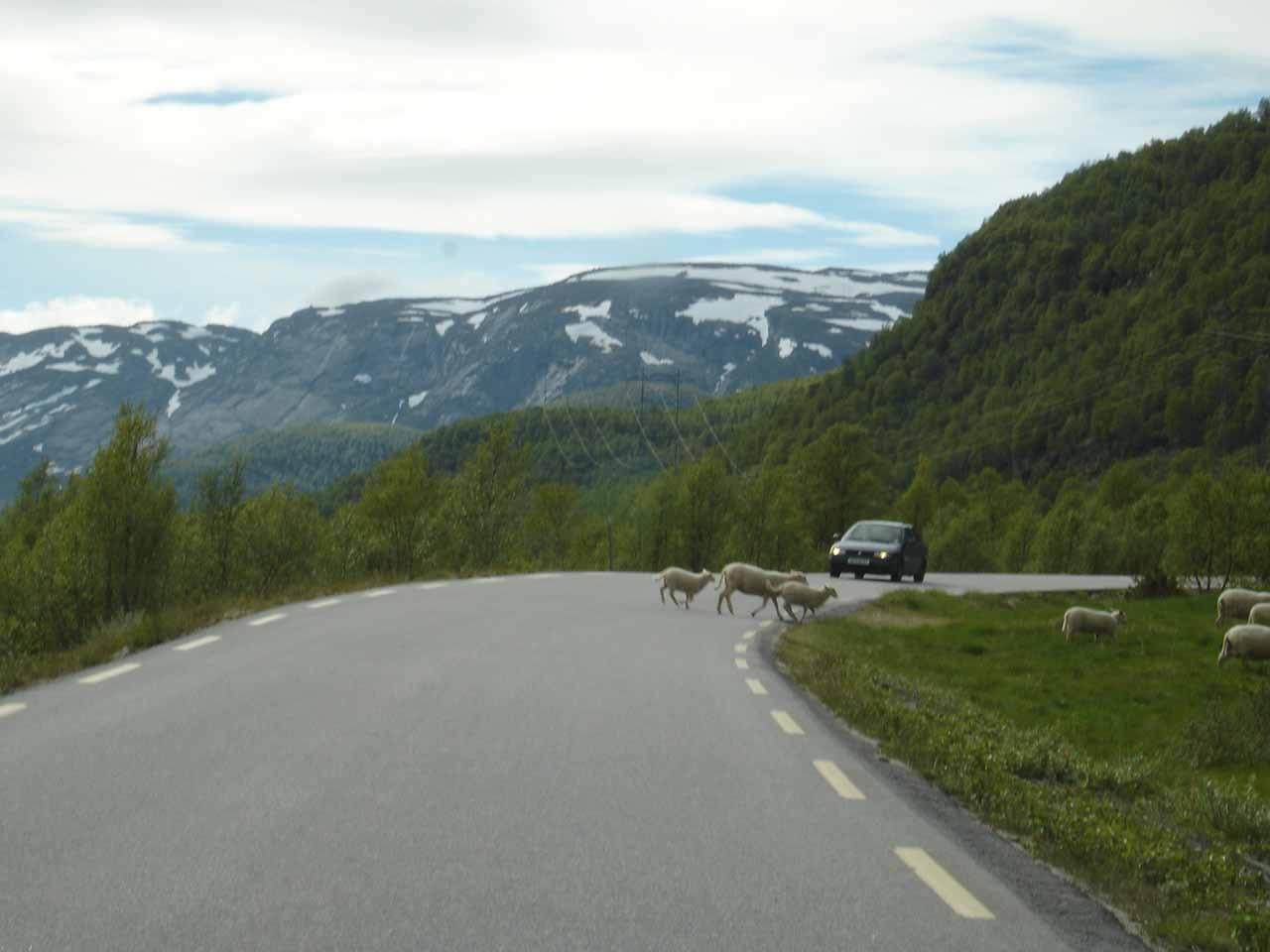 Sharing the Rv45 with sheep as we were driving between Rjukan and Setesdal