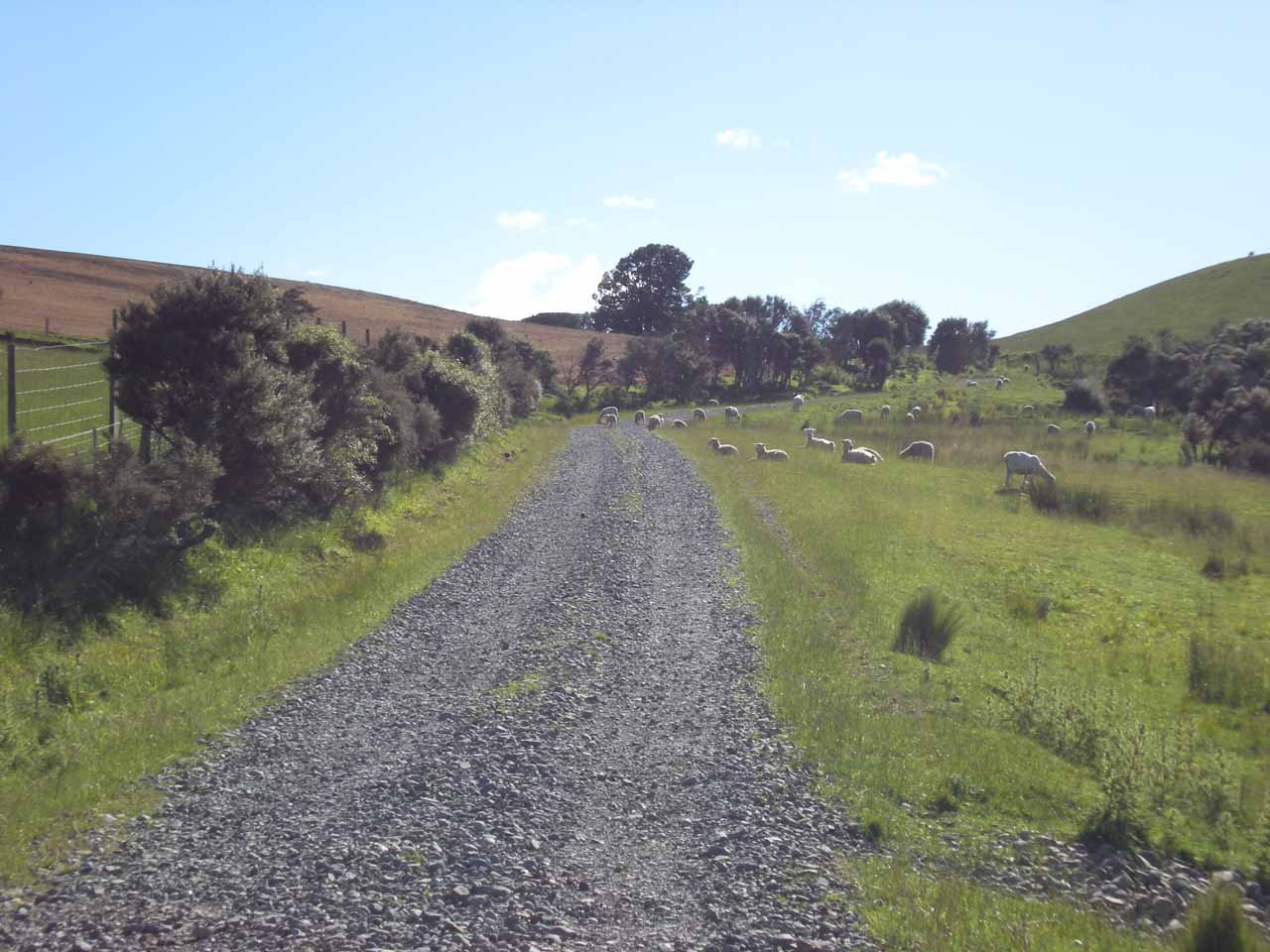 On the unsealed road shared with sheep leading to the View Hill Car Park