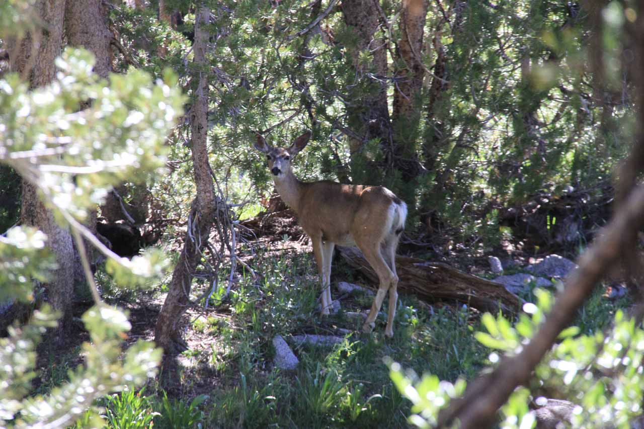 A deer on the trail