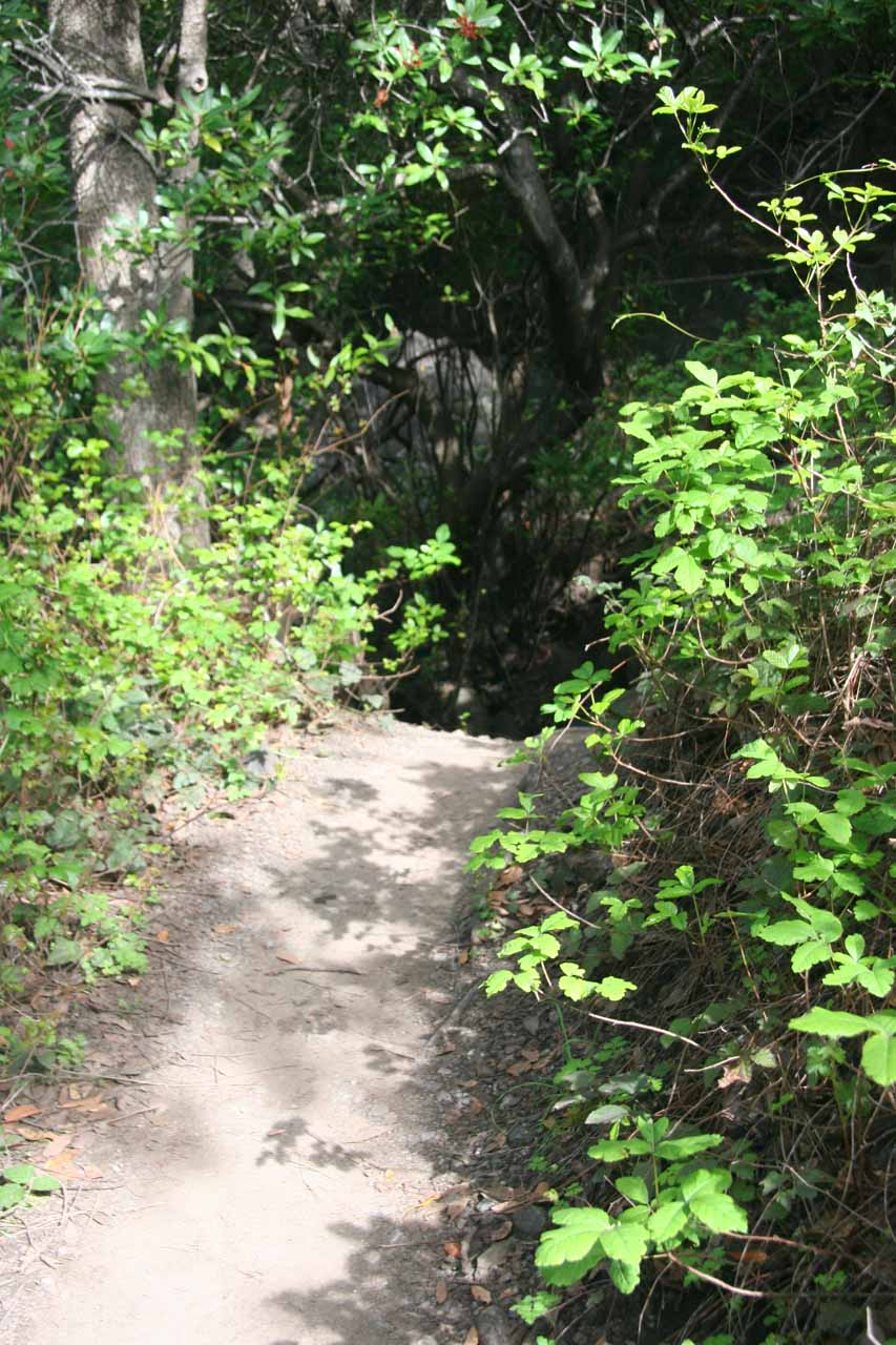 Poison oak flanking the trail