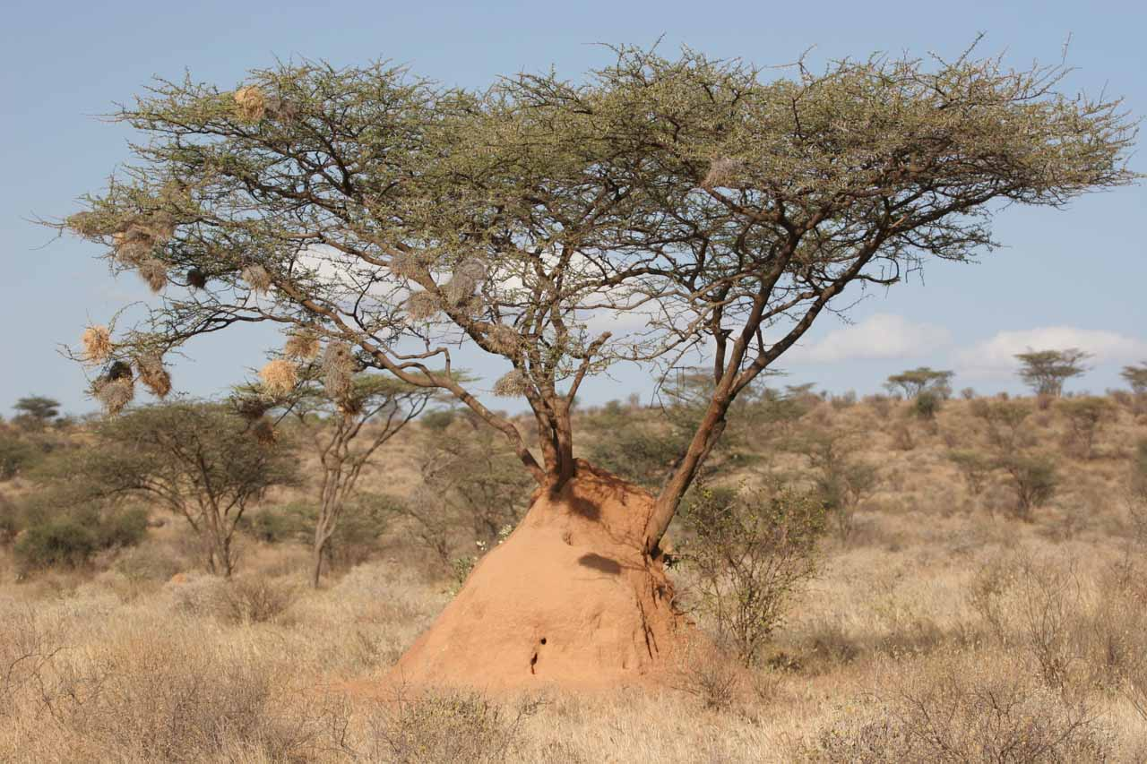 Tree with weaverbird nests over a termite mound