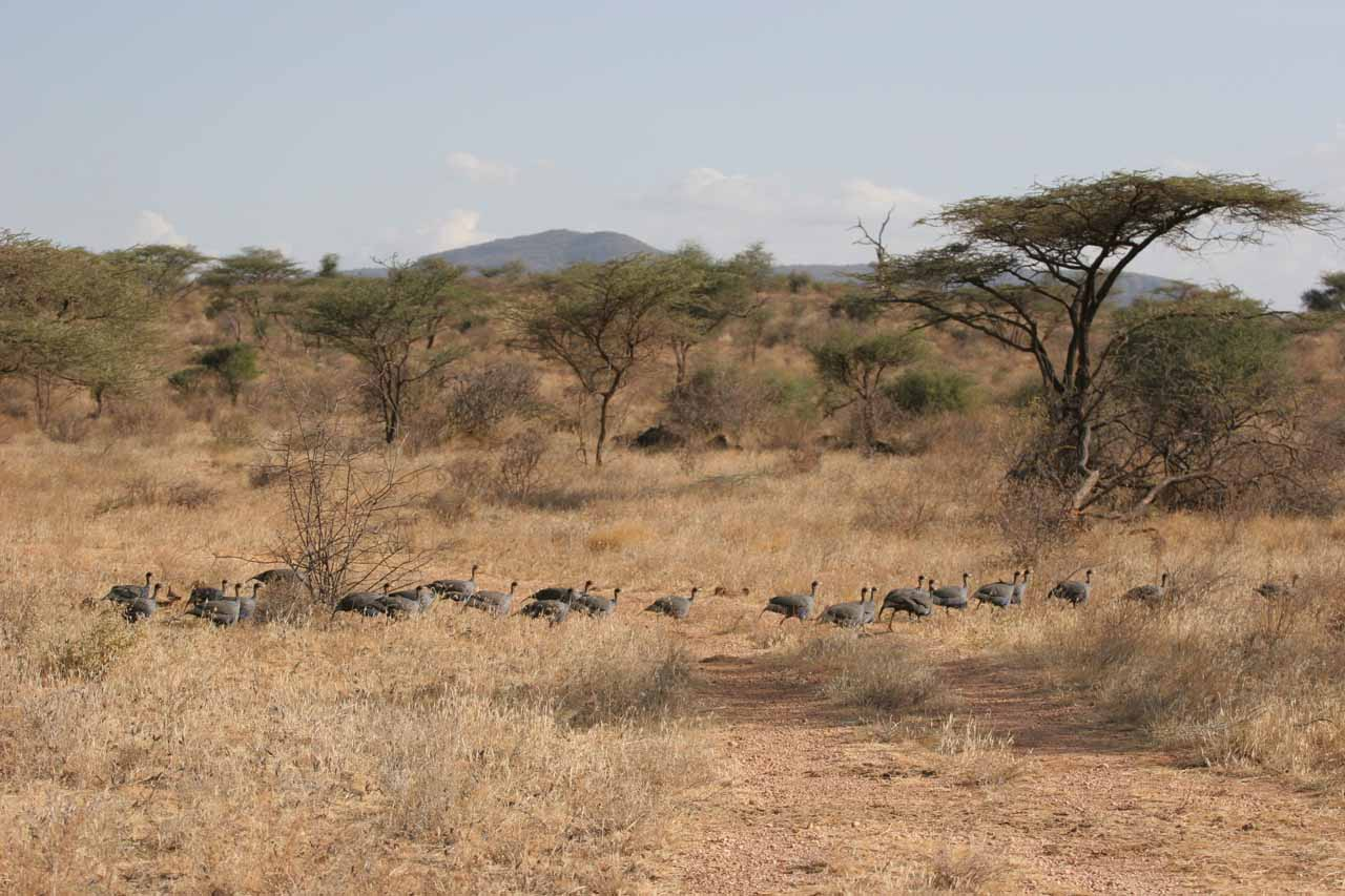 A parade of guinea fowls