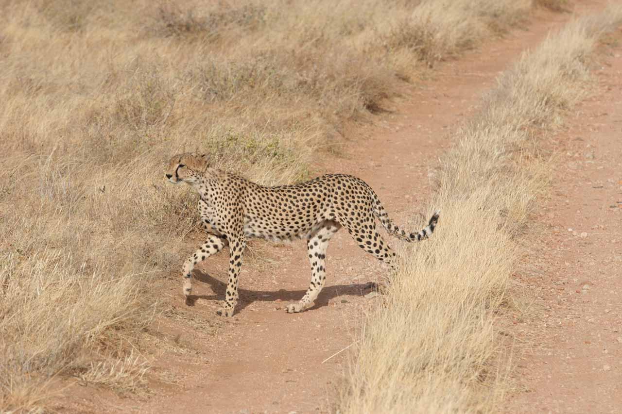 Cheetah crossing the road