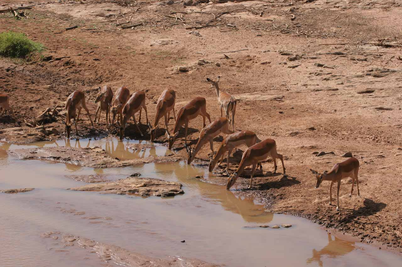 Bunch of drinking female impalas