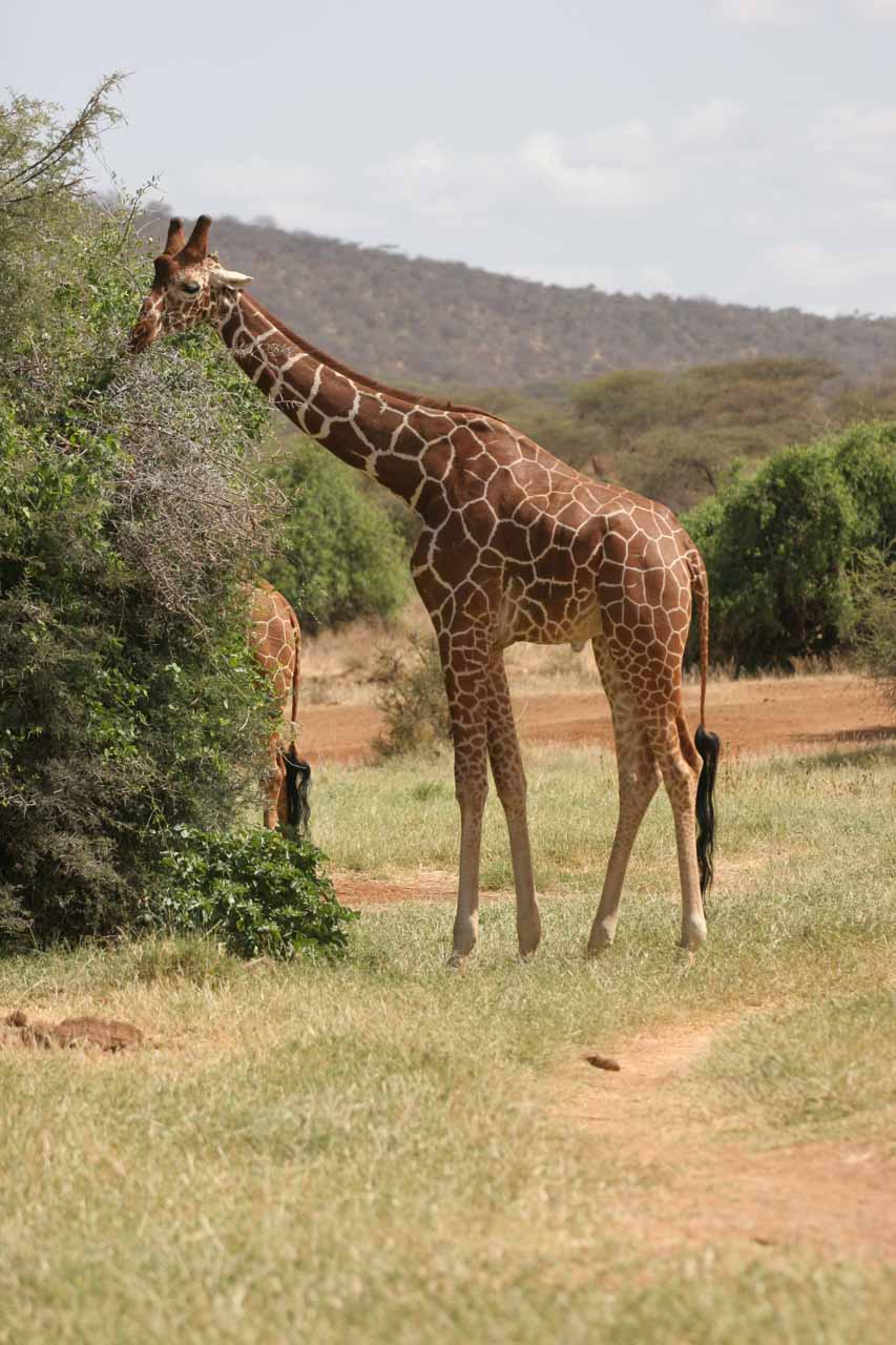 Browsing reticulated giraffe