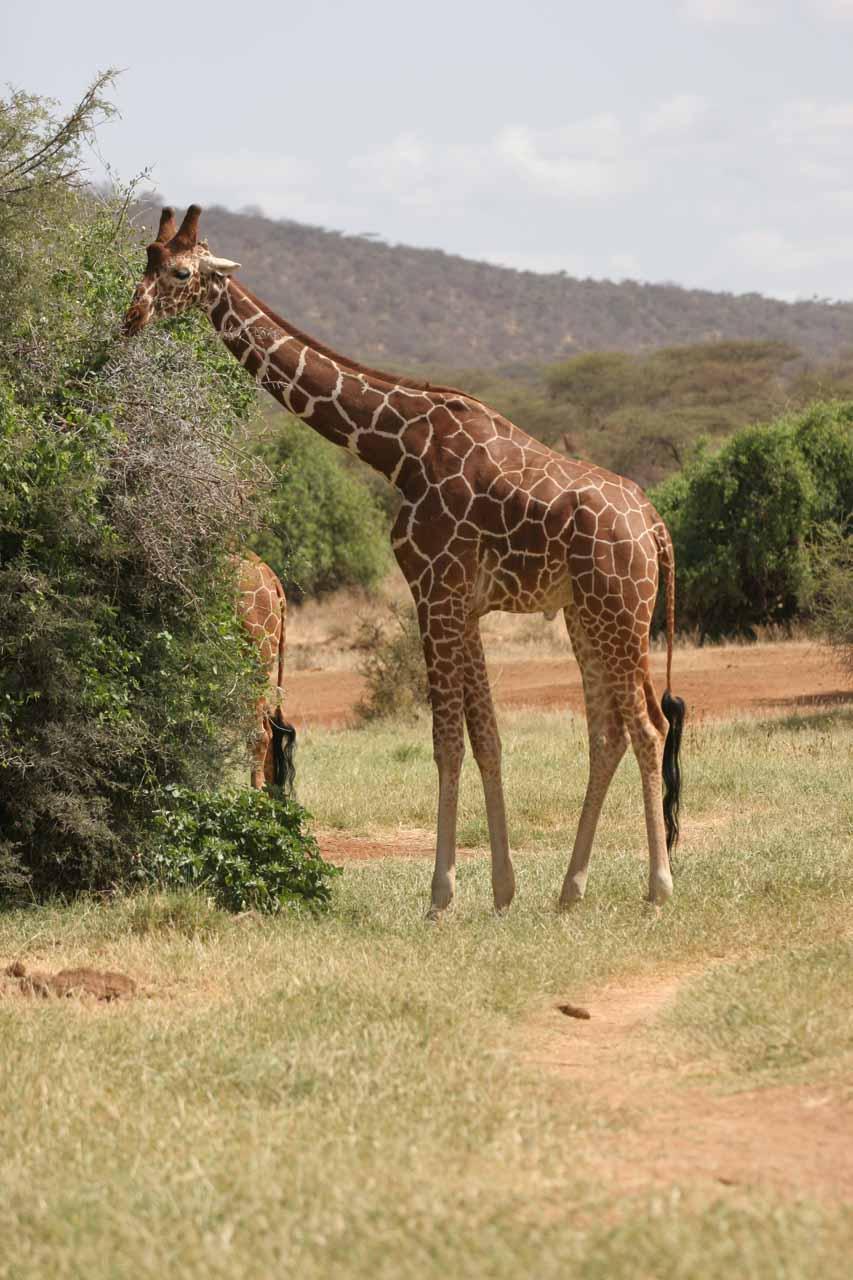 Browsing reticulated giraffe