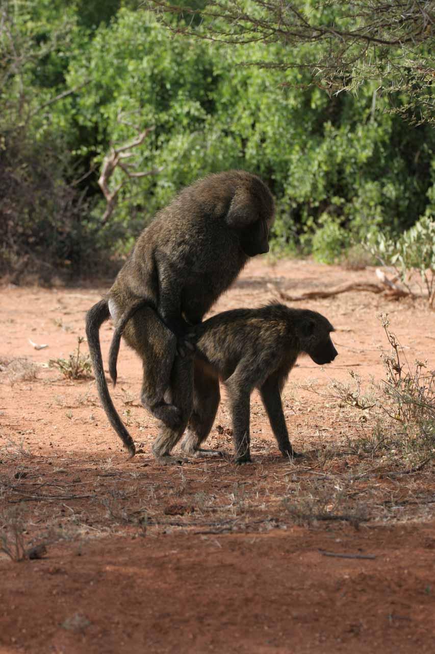 Baboons mating