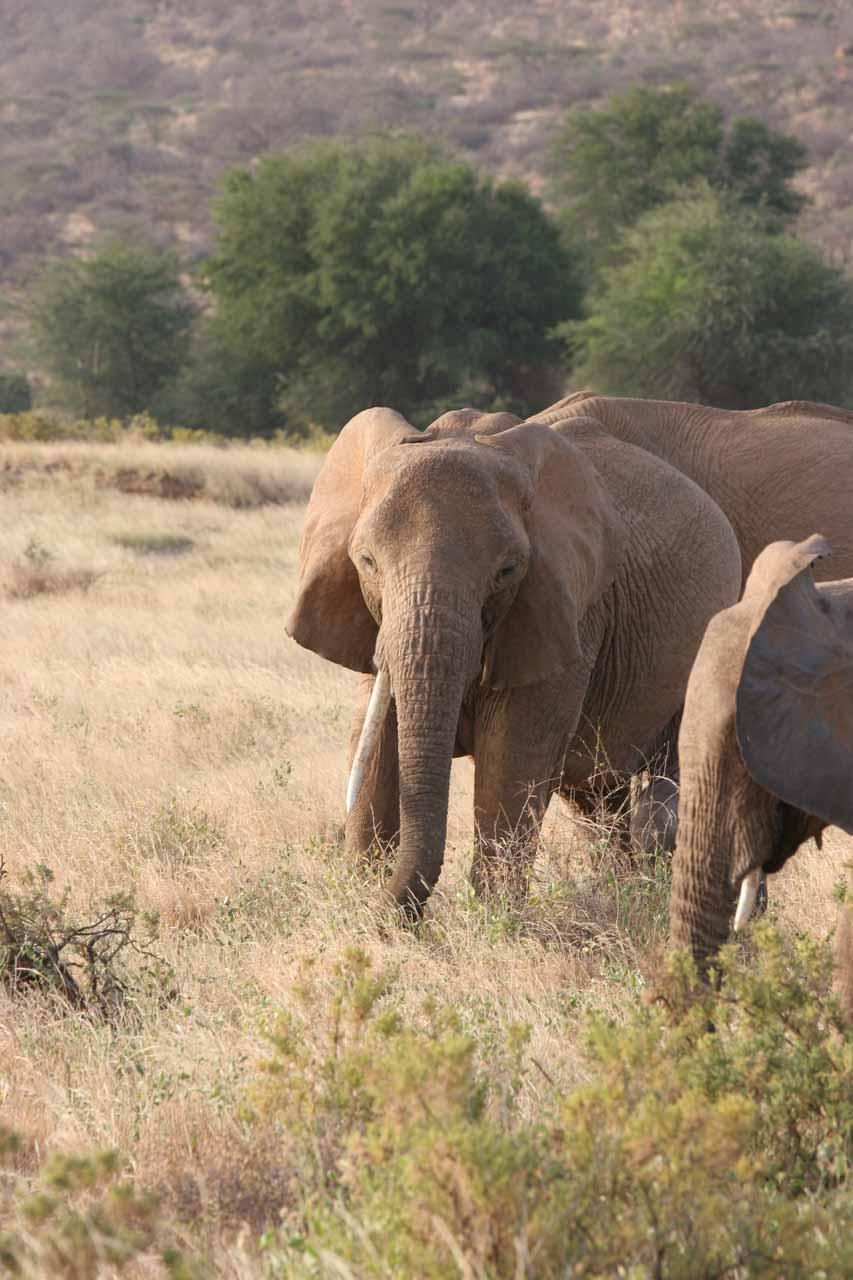 Single-tusked elephant