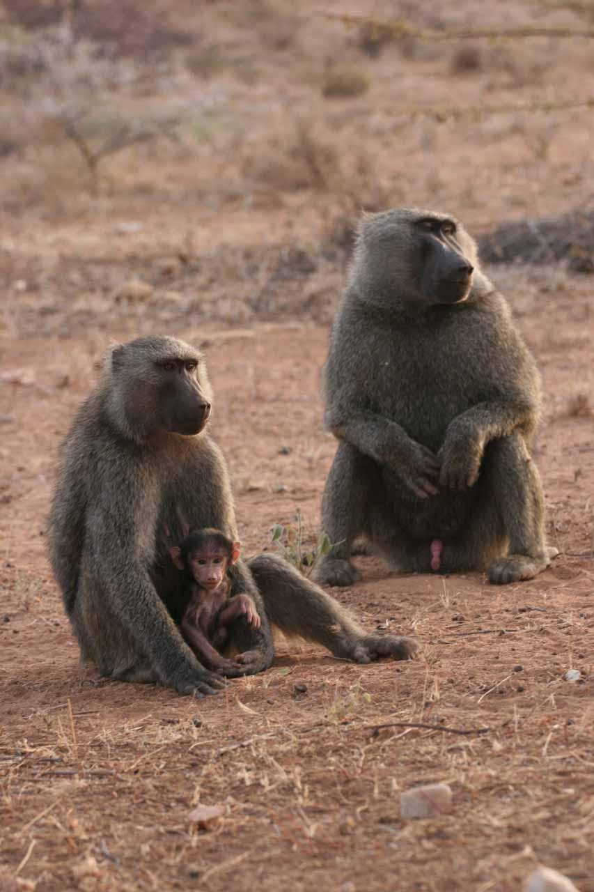 A baboon family