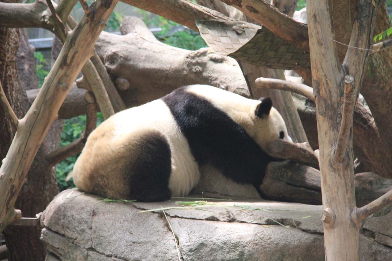 Roughly 50 miles west of Kitchen Creek Falls is the San Diego Zoo right in the city, whose star attraction could very well be the giant pandas