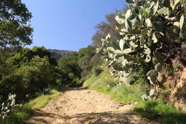 San_Ysidro_Falls_020_04012017 - Cacti along the San Ysidro Trail hinted at the hot and arid climate of the area around the San Ysidro Falls