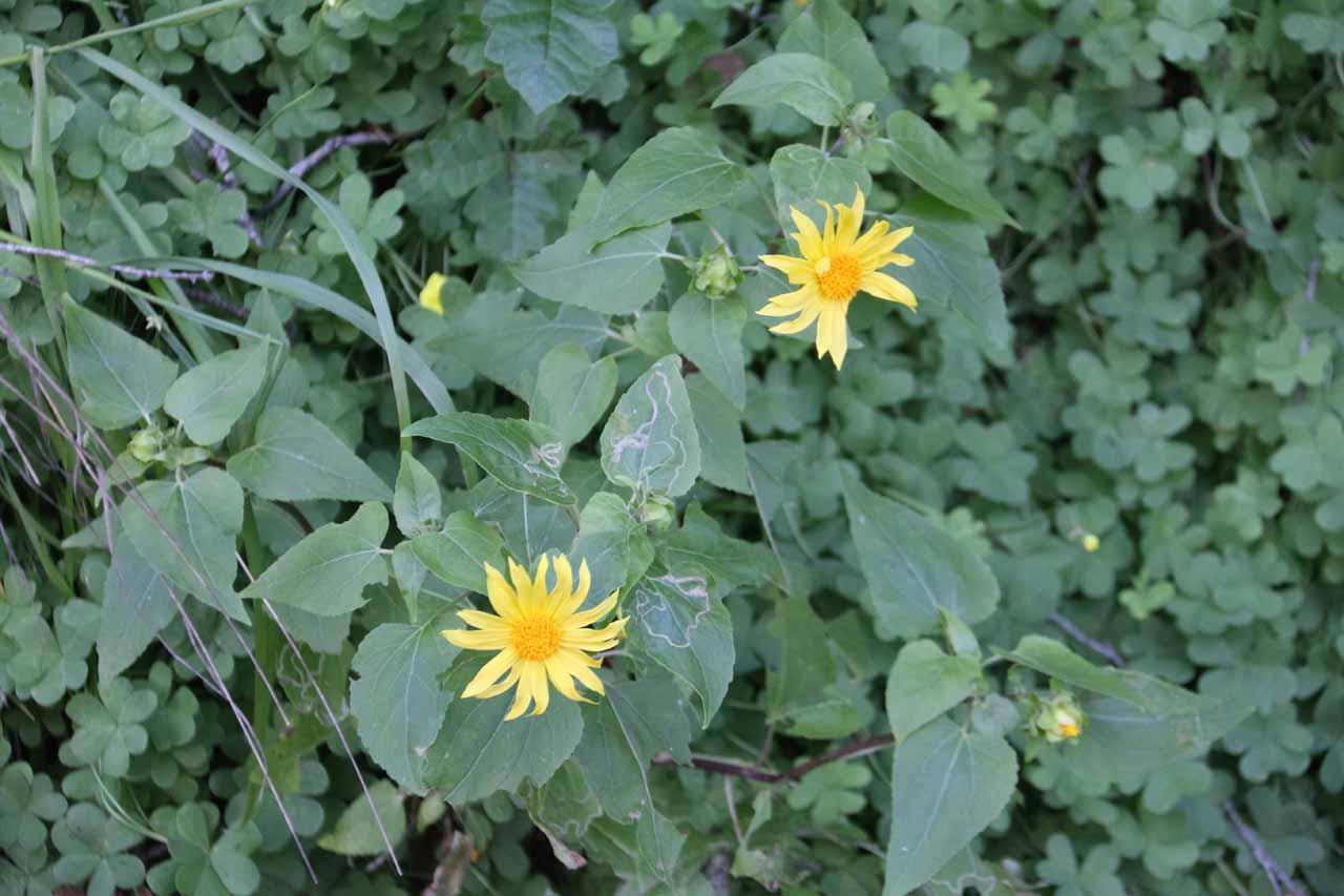 Wildflowers blooming along the San Ysidro Trail