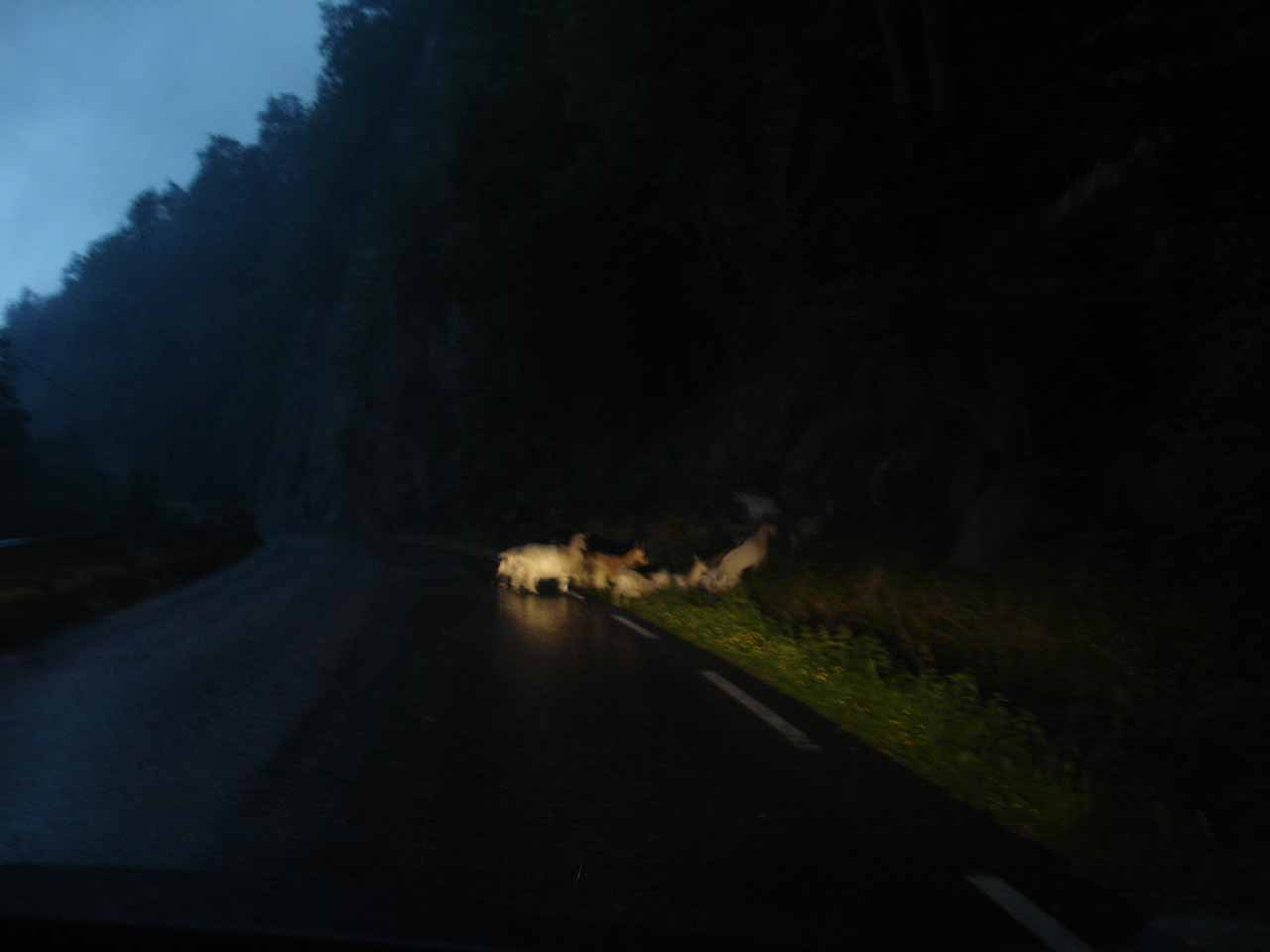 We encountered these goats while making the long drive from Preikestolen (the pulpit) to the town of Sand