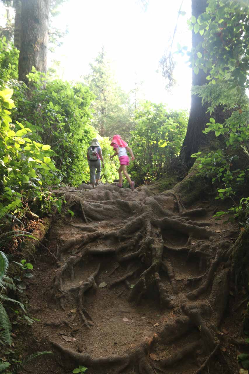 Climbing over exposed tree roots like this was about as rough as the short Sandcut Beach Trail got