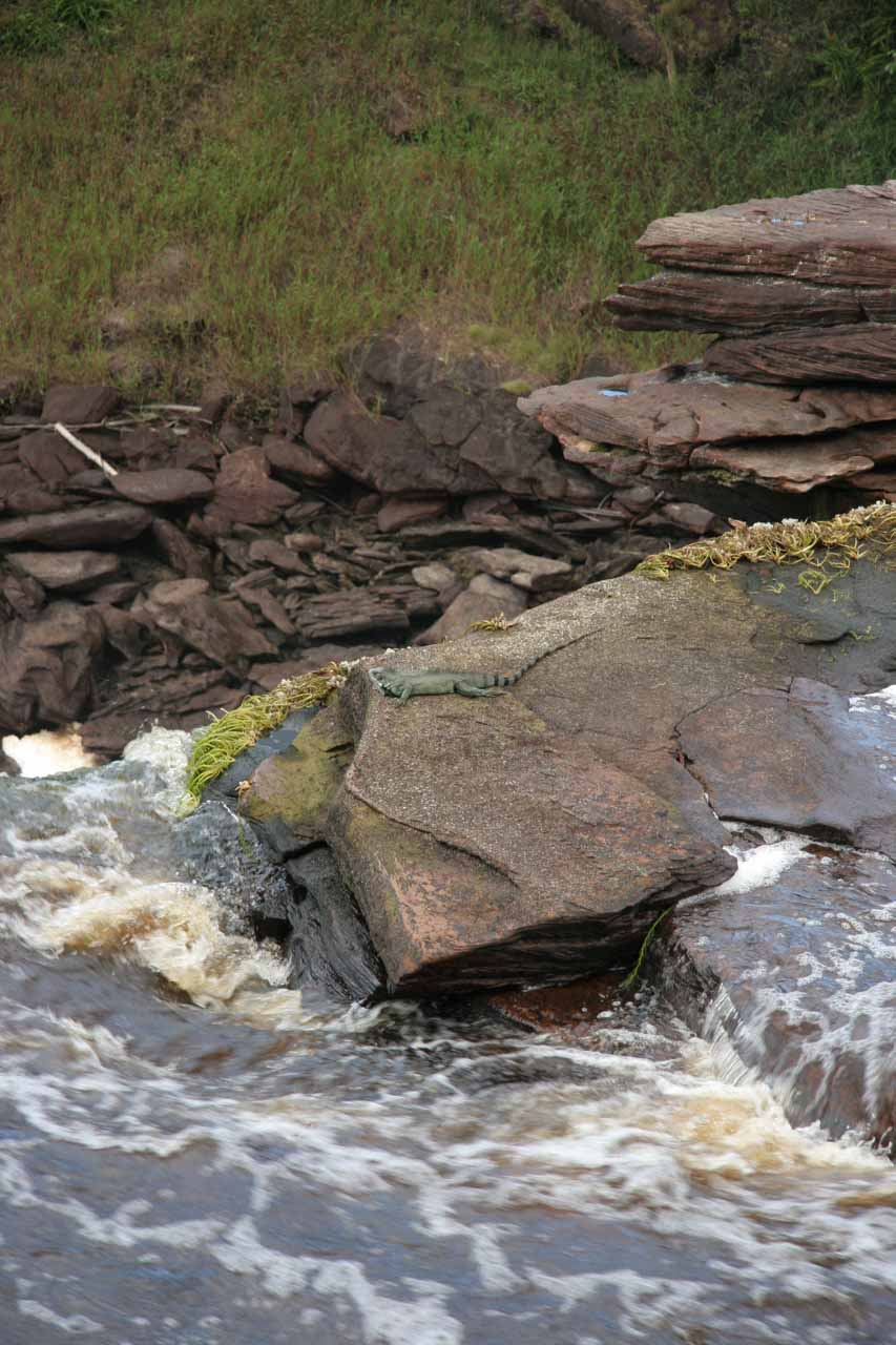 Iguana resting on a rock atop Sapito Falls