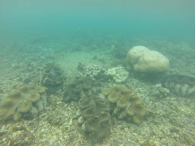 Savaia_MPA_024_goPro_11132019 - The Papase'ea Sliding Rocks was off the southwestern side of Apia, but further to the southwest off the coast of 'Upolu was the Savaia Marine Protection Area, which was famous for giant clams as you can see in this underwater photo
