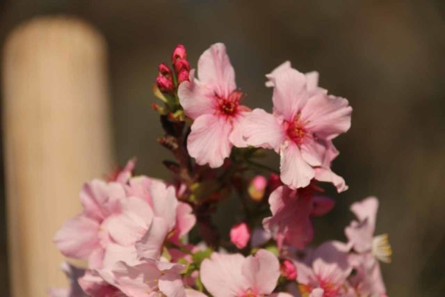 An example of a narrow depth-of-field where this cherry blossom is in focus while everything else around it is out-of-focus