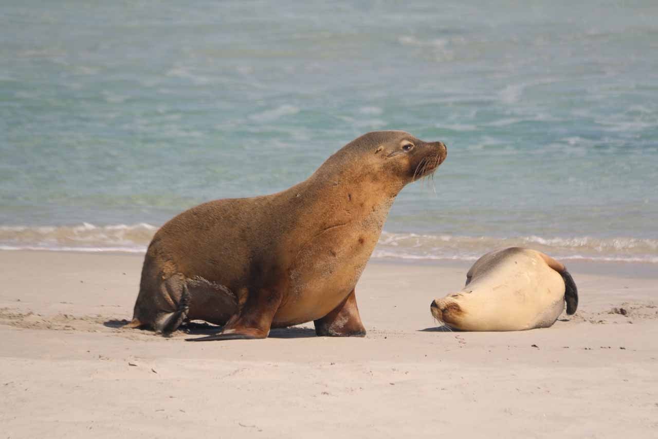 Kangaroo Island was also Seal Bay which was one of the few places where it was possible to get close to Australian Sea Lions as shown in this photo