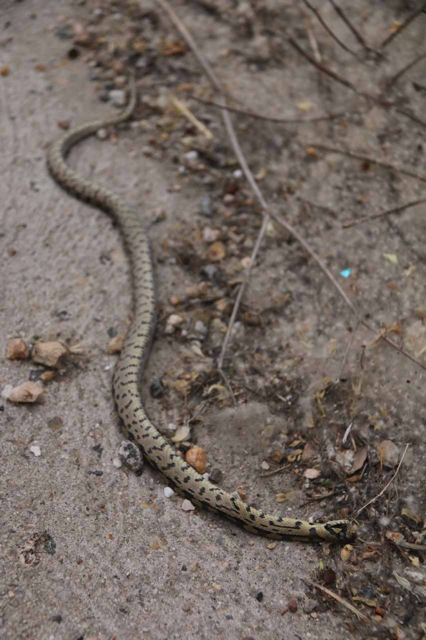 Closeup look at what appeared to be a dead snake near the view of the backside of the Alcazar de Segovia on Cuesta de los Hoyos