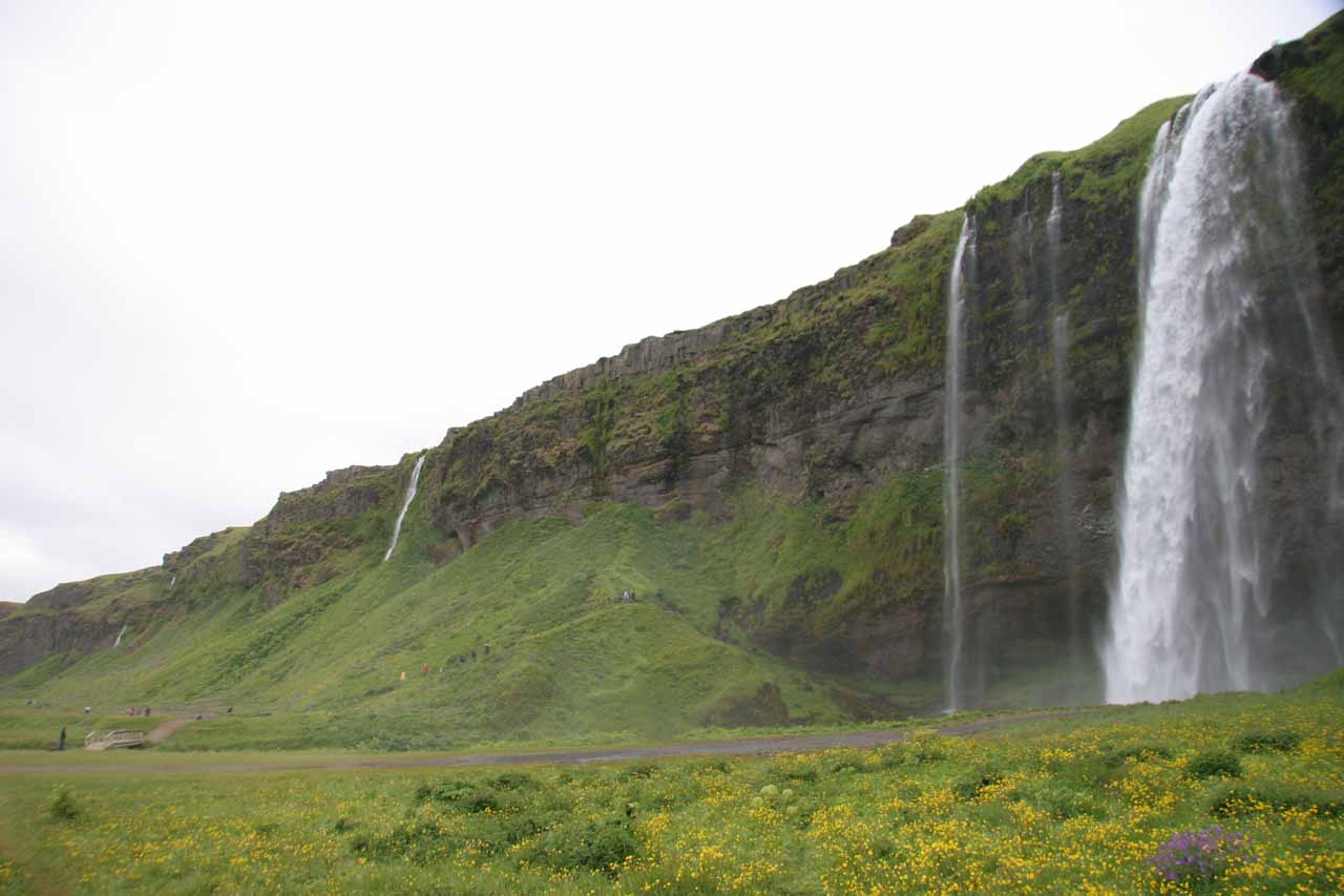 Lots of wildflowers blooming before Seljalandsfoss