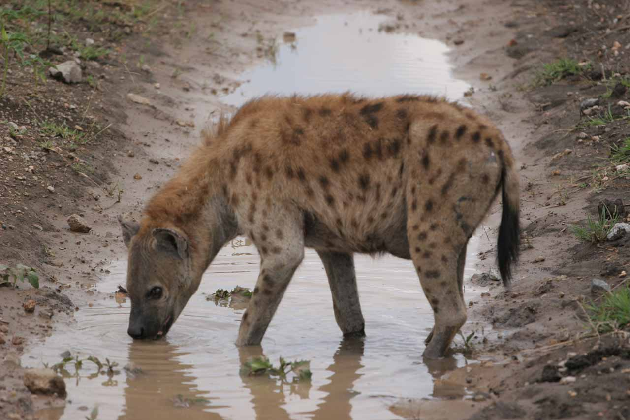 Our first look at a hyena