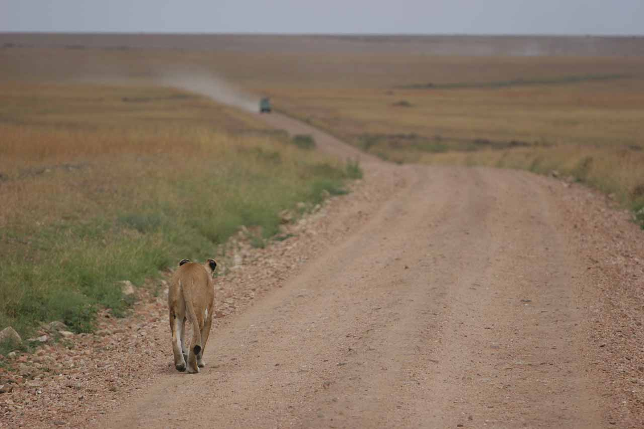The lion slowly walking the road as another safari vehicle approaches