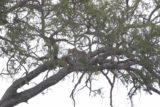 Serengeti_182_06082008 - Leopard with its kill