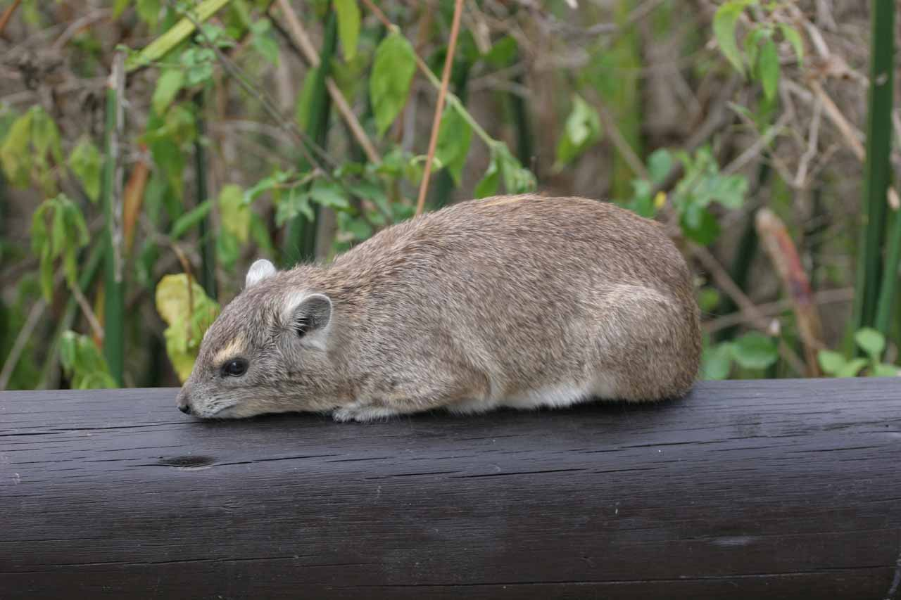 Hyraxes were common at the Serengeti Visitor Center