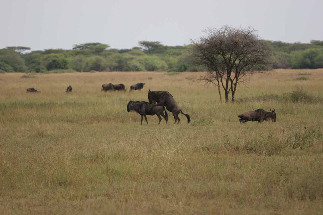 Wildebeest mating