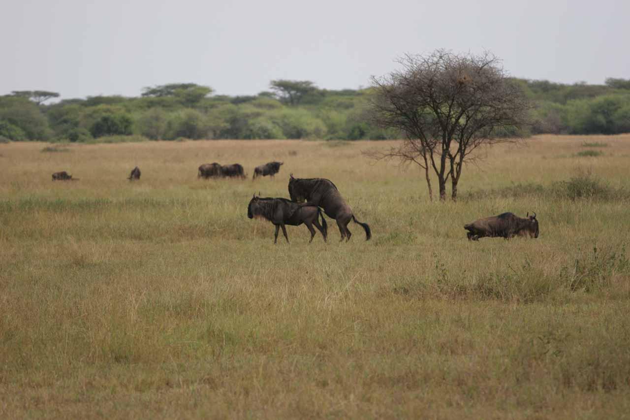 Wildebeest mating