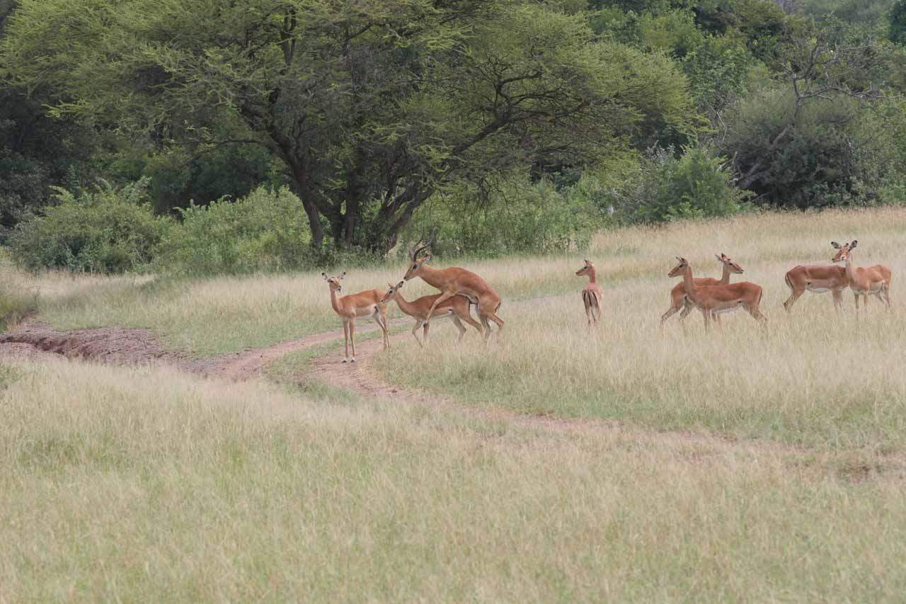 Impalas mating