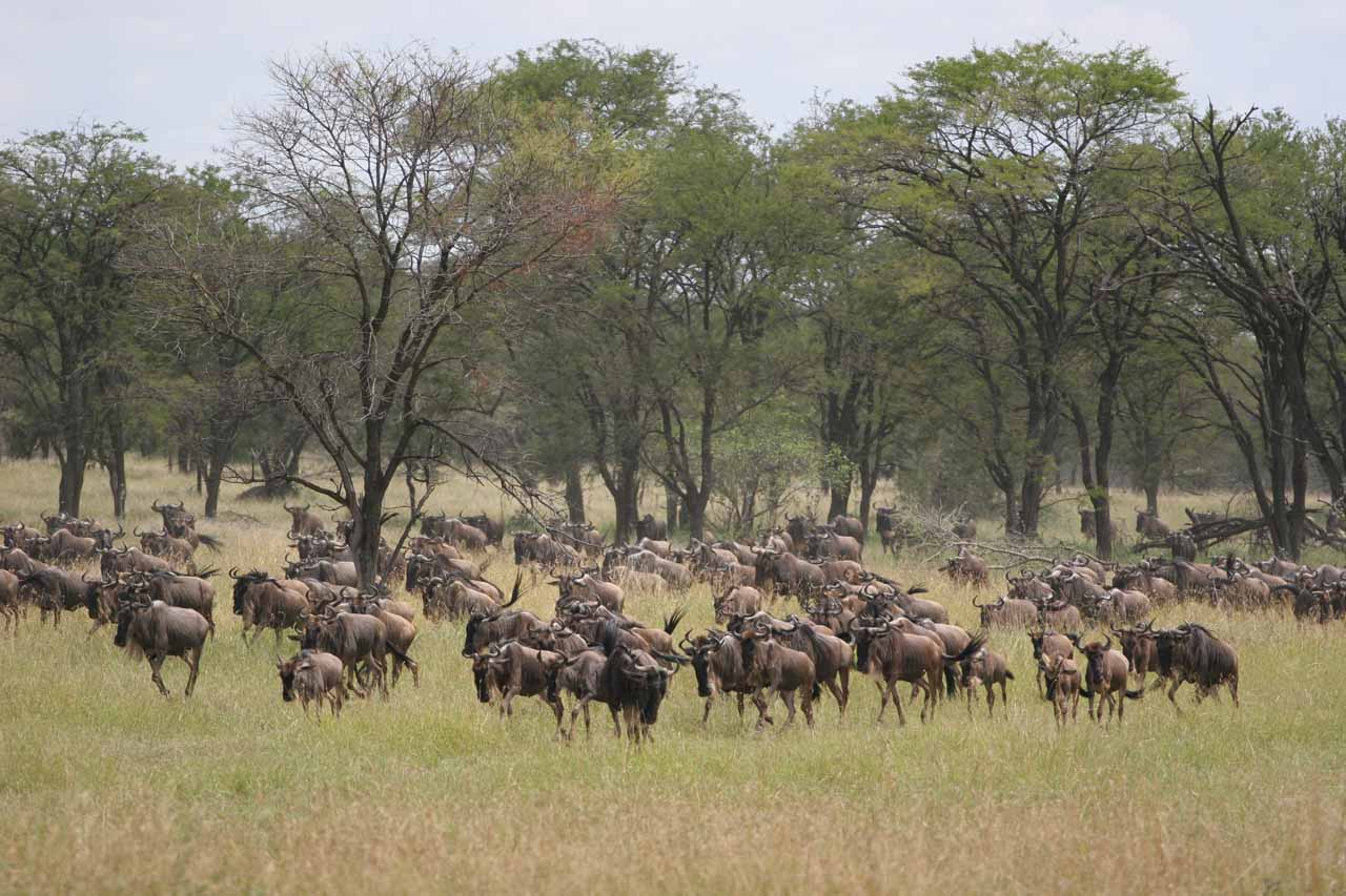 The great wildebeest migration across the Serengeti