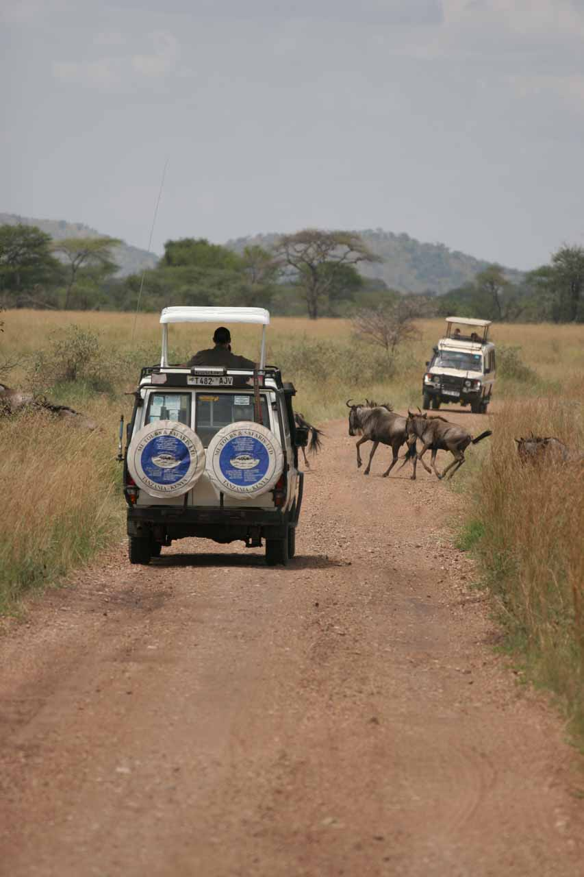 A pair of safari vehicles flanking the wildebeest migration route