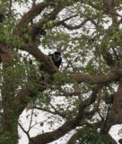 Serengeti_310_cropped_06092008 - A rare colobus monkey