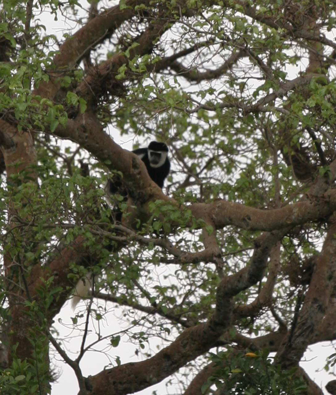 A rare colobus monkey